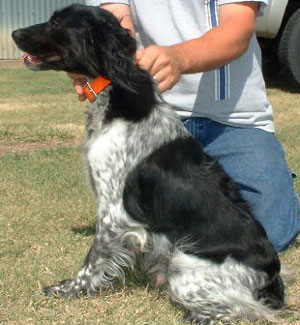 Brandi Female French Brittany from Outback Kennels
