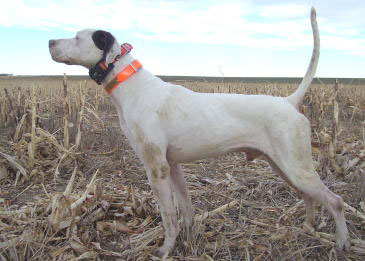 Buddy Male English Pointer from Outback Kennels