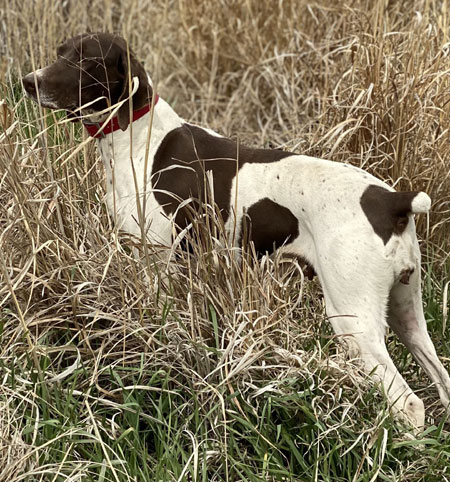 German Shorthair Hunting Dog For Sale