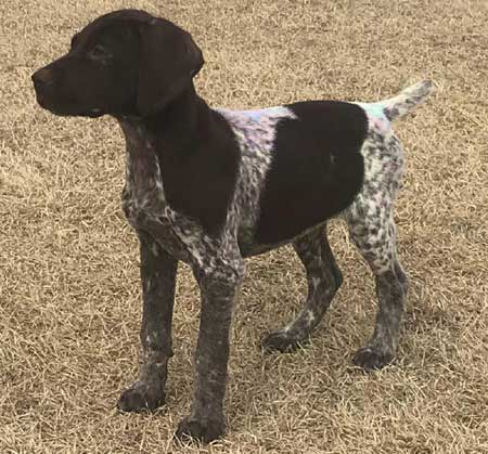 German Shorthaired Pointer Puppy for Sale