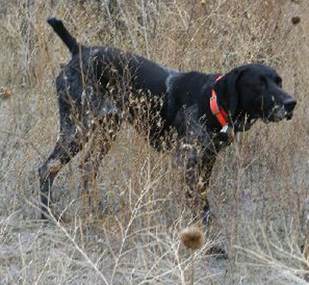 Ridge Male German Shorthair Hunting Dog For Sale