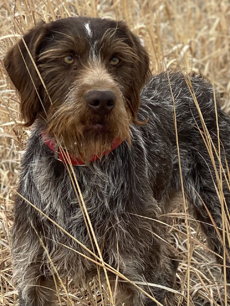 German Wirehaired Hunting Dog For Sale
