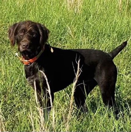 German Wired Haired Pointer Hunting Dog For Sale