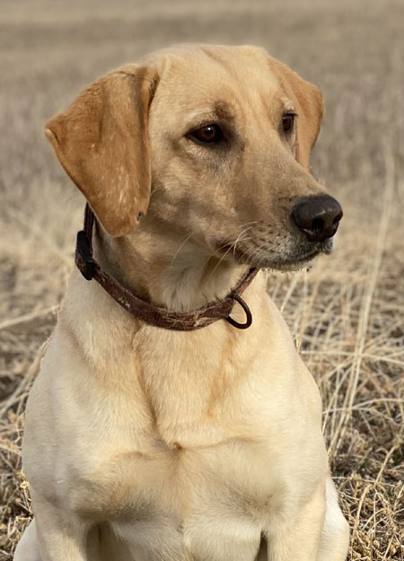 Labrador Retriever Hunting Dog For Sale