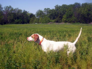 Lady Female English Pointer from Outback Kennels