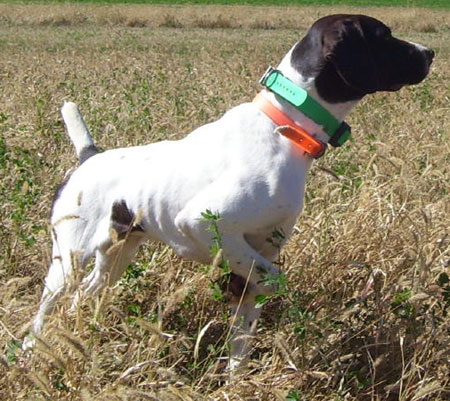 Lucy Female German Shorthair Hunting Dog for Sale