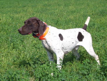 Mac Male German Shorthair Pointer from Outback Kennels