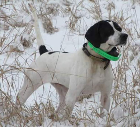 English Pointer Hunting Dog For Sale