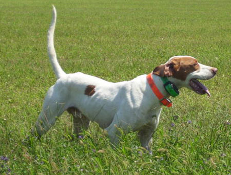 Slim Male English Pointer Hunting Dog For Sale