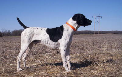 Sampson Male German Shorthair Pointer from Outback Kennels