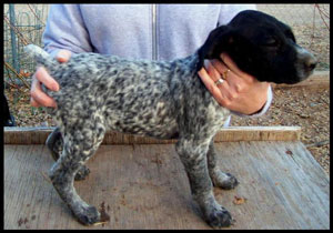 Trout Female German Shorthair Pointer Puppy from Outback Kennels