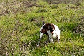 Noble Hunting Dog