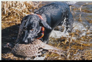 Sadie Black & White German Shorthair Hunting Dog