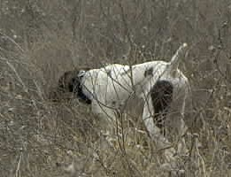 Jake Hunting Dog